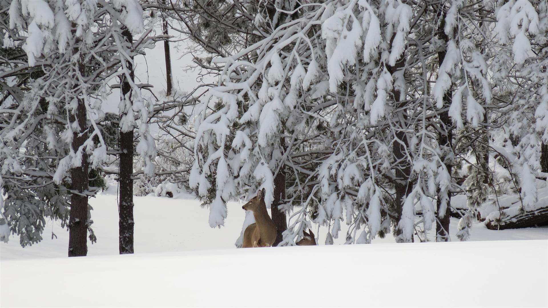 Deer Zoom - 2