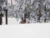 Deer Zoom - 1