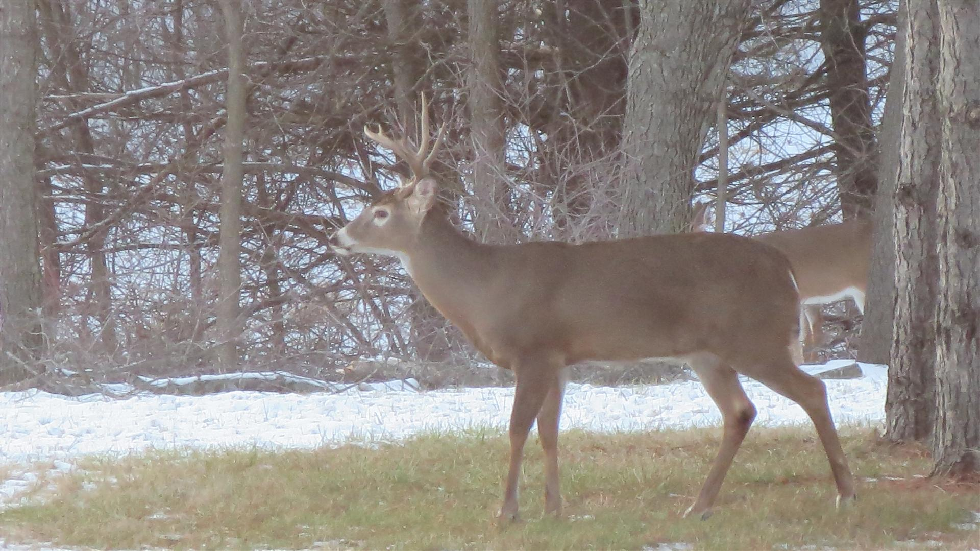 Buck Standing In Back Yard