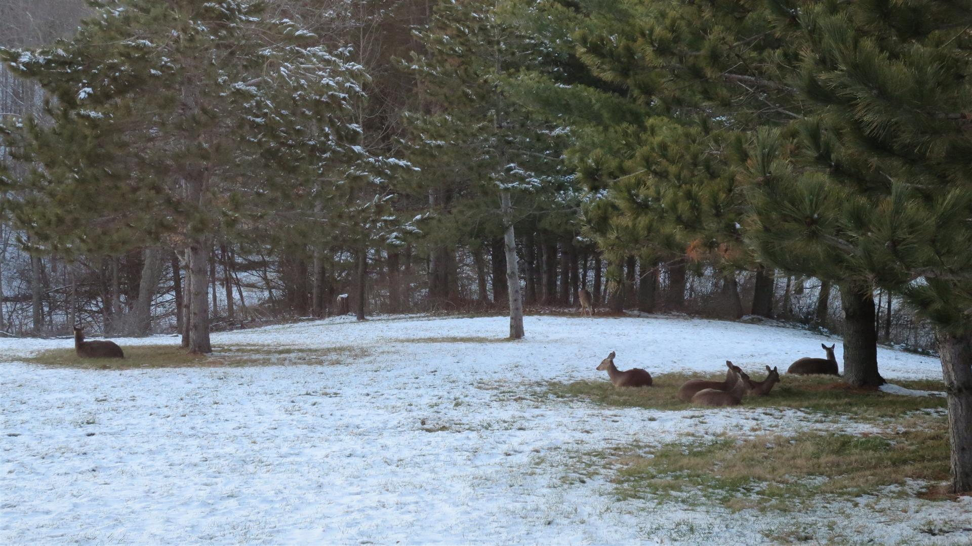 Deer Laying In Back Yard - Some Standing Farther Back - 1