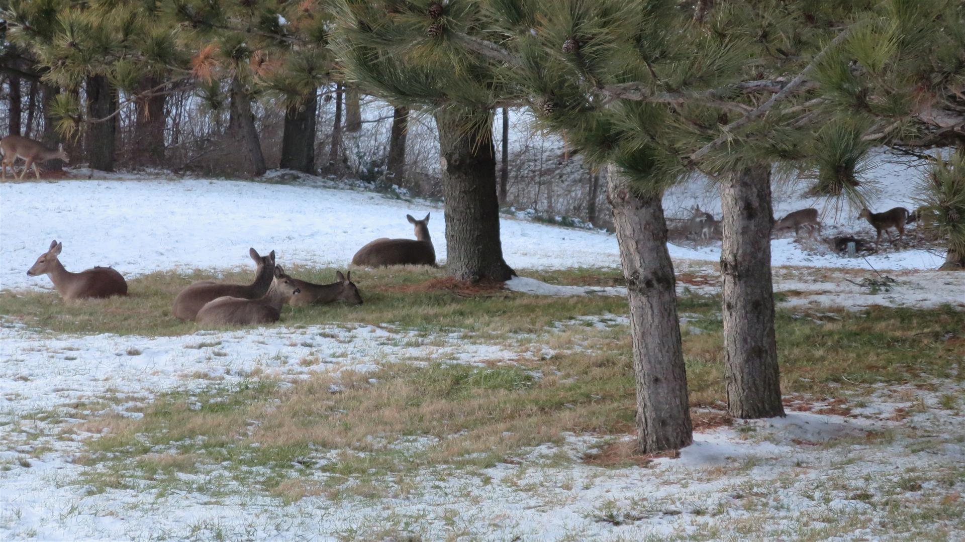 Deer Laying In Back Yard - Some Standing Farther Back - 2