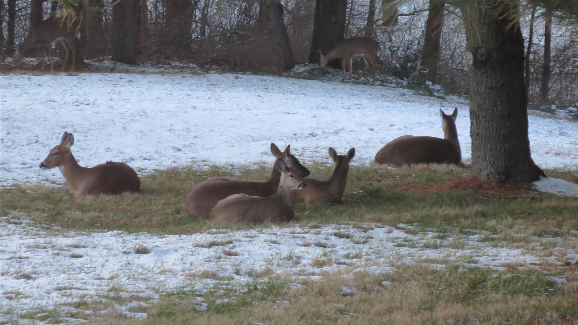 Deer Laying In Back Yard - Some Standing Farther Back - 3