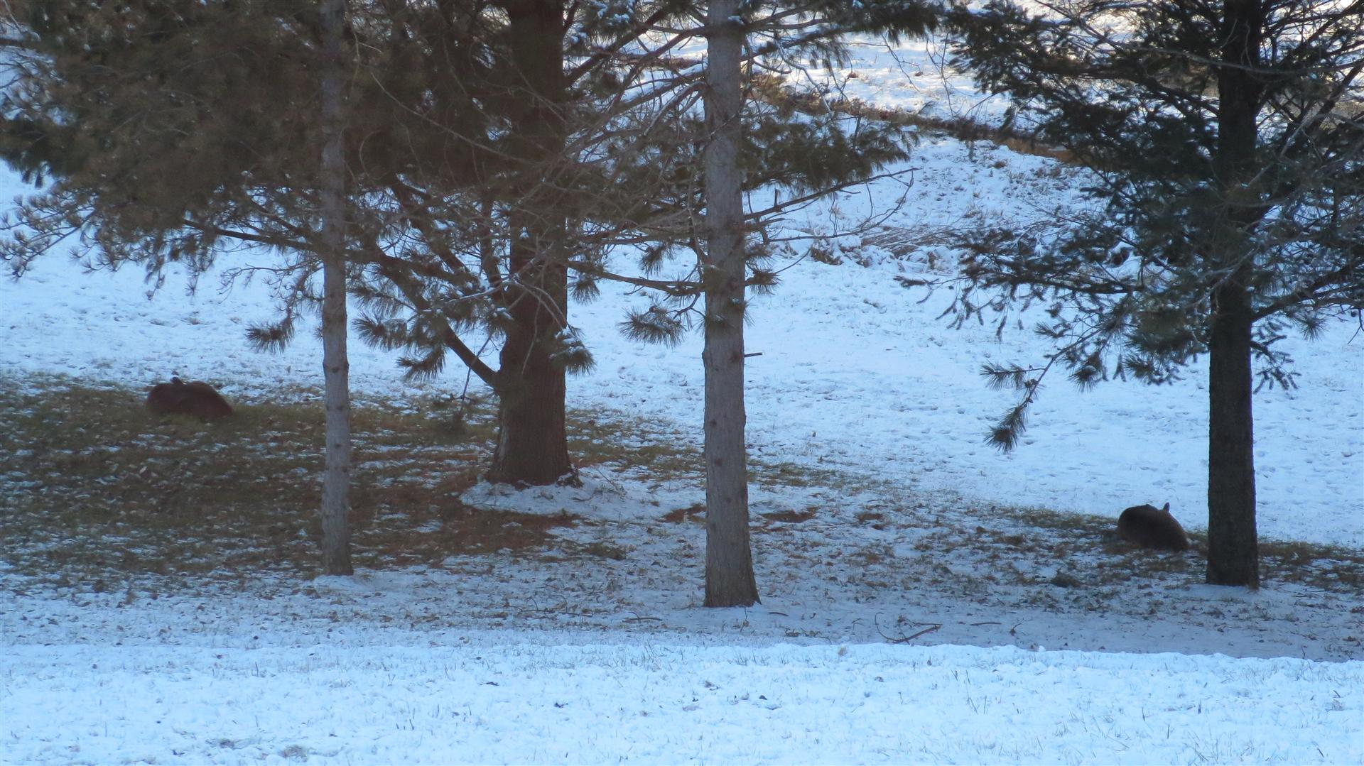 Deer Laying Under Pines - 1