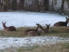 Deer Laying In Back Yard - Some Standing Farther Back - 4