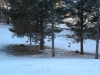Deer Laying Under Pines - 2