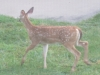 fawn-by-building-zoom-1