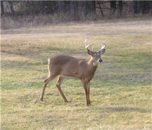 illinois-trophy-ranch-buck-in-back-yard