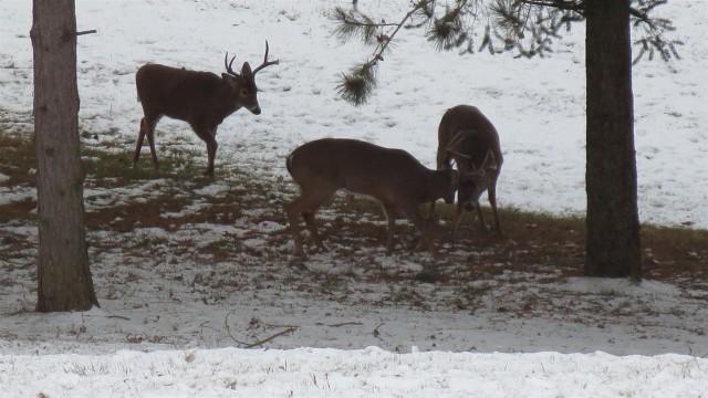 3 Bucks Clashing Antlers