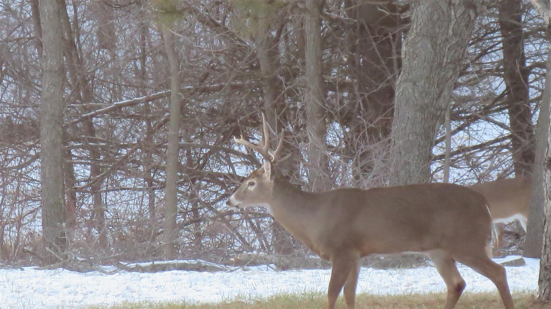Buck Standing In Back Yard - Antlers