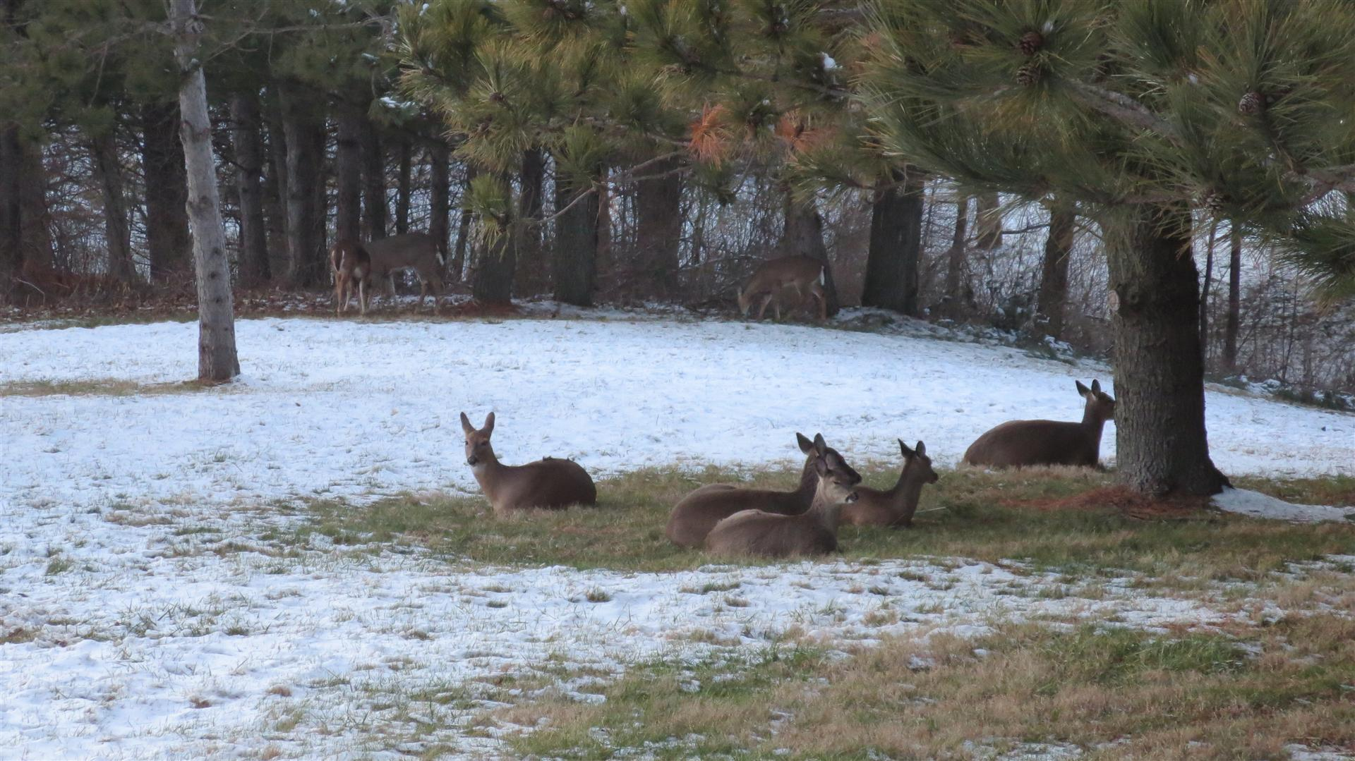 Deer Laying In Back Yard - Some Standing Farther Back - 6