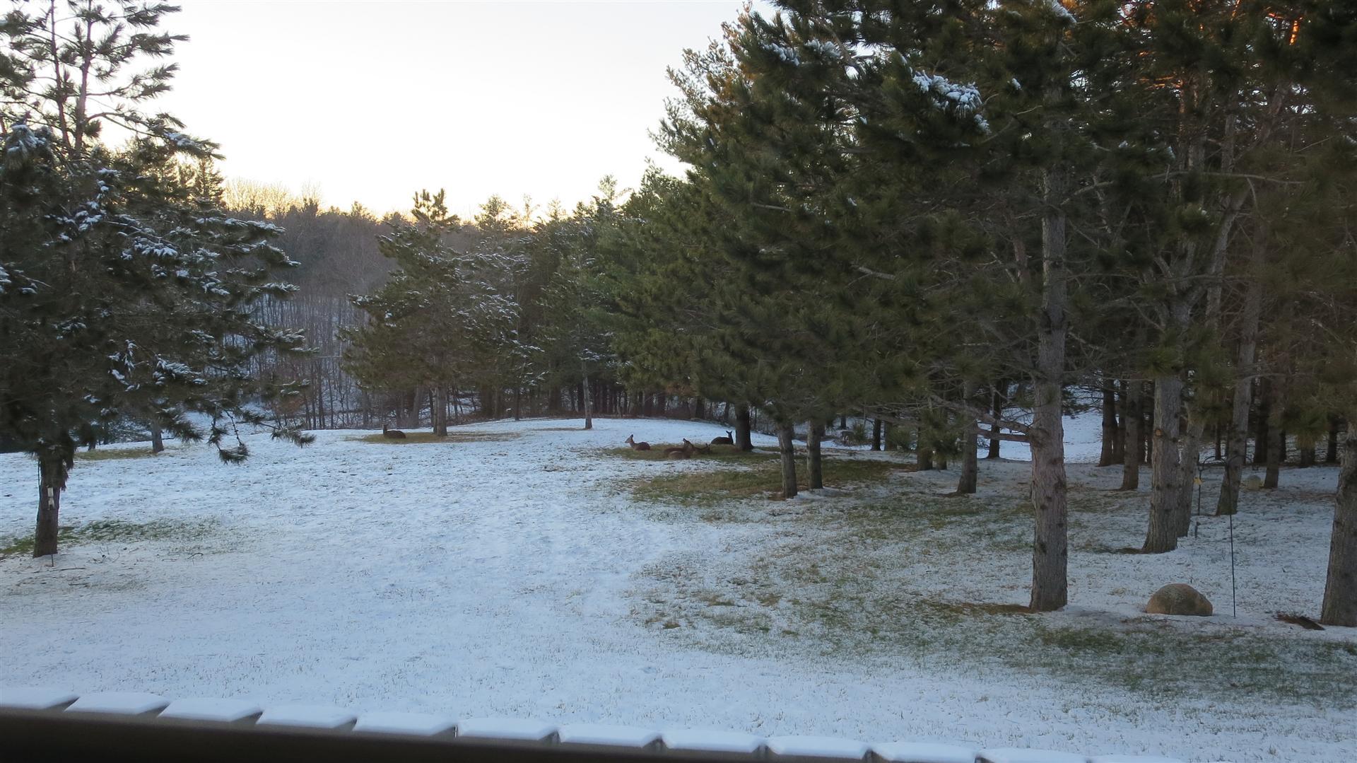 Deer Laying In Back Yard