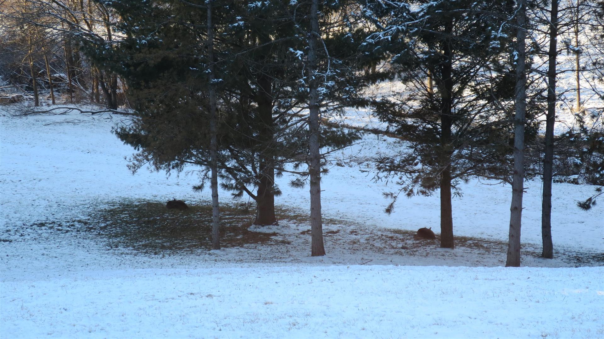 Deer Laying Under Pines - 2