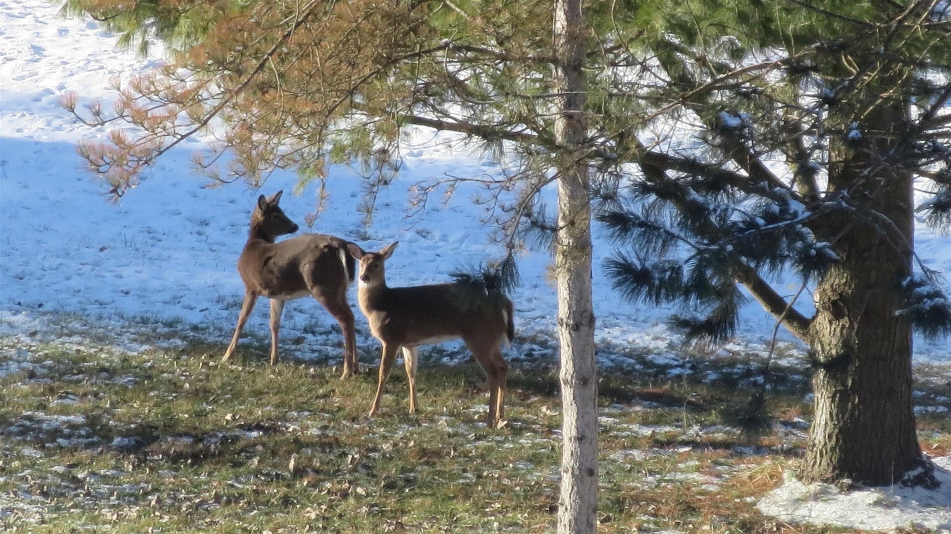 Deer Standing Under Pines - 1