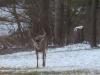Buck Facing Me