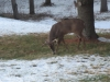 Buck Grazing In Back Yard