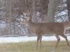 Buck Standing In Back Yard