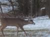 Buck Walking In Back Yard