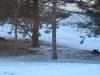 Deer Laying Under Pines - 1