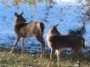 Deer Standing Under Pines - 2