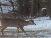 Buck Walking In Back Yard